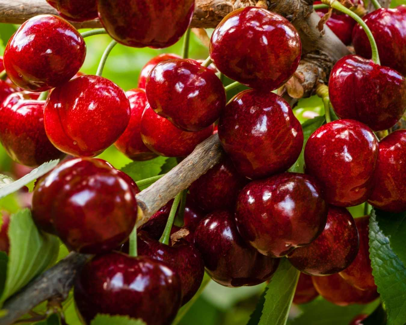 Cherry picking jobs Cromwell Central Otago at Suncrest Jones Family Orchard