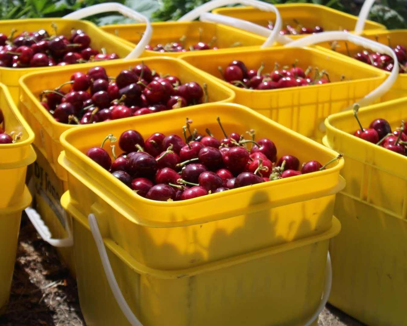 seasonal work cherry picking and packhouse at Suncrest Jones Family Orchard Cromwell Central Otago